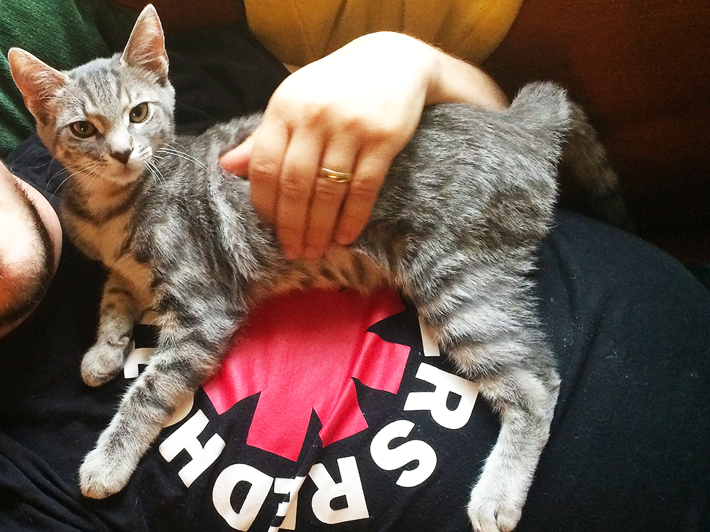 Silver tabby kitten with fearsome glare rests happily on a man's chest while receiving pets as an example of gentle interactions to encourage kittens to stop biting