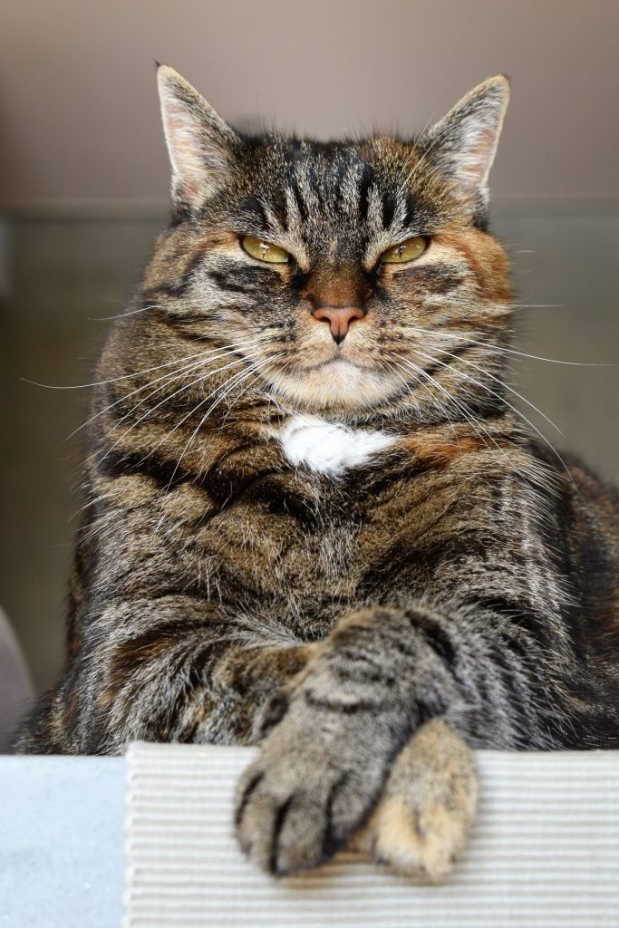A regal brown tabby cat with yellow eyes and a small white chest patch glares slightly downward at the camera.