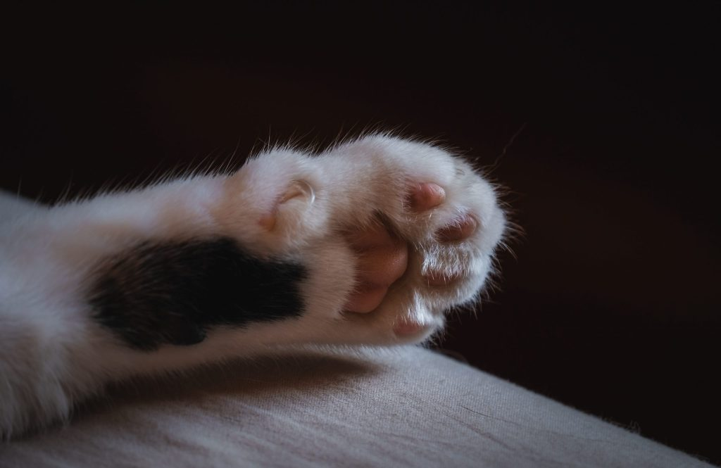 A close up on the toe pads of a cat's paw.