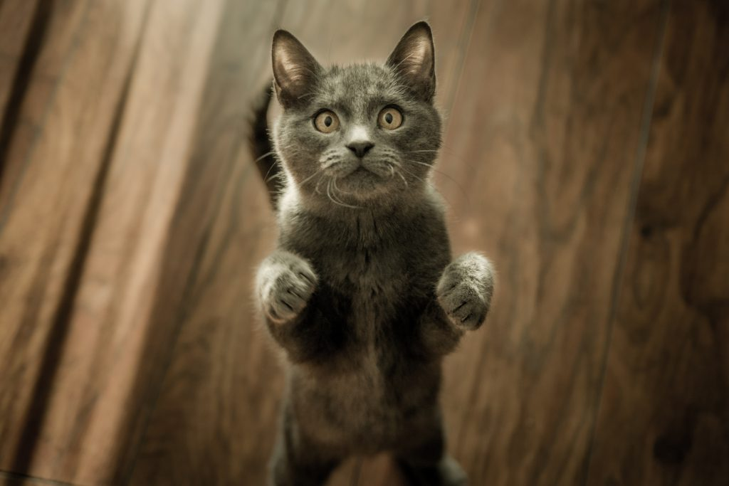 A grey cat standing on its hind legs ready to play with a kitten toy