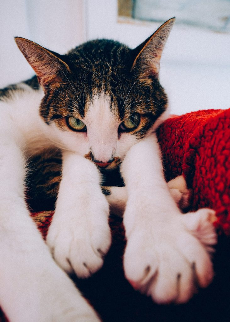 A cat stretches his paws toward the camera with his head resting on his paws.