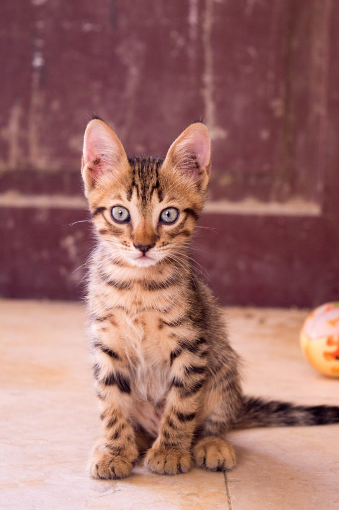 "The tabby ""M"" forehead markings and lines around the eyes are clearly visible on a cute brown kitten."
