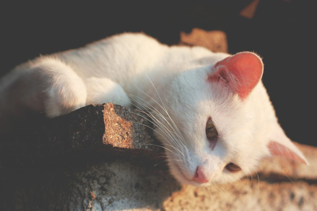 A cat with white fur and yellow eyes lounges and looks down from a brick surface.