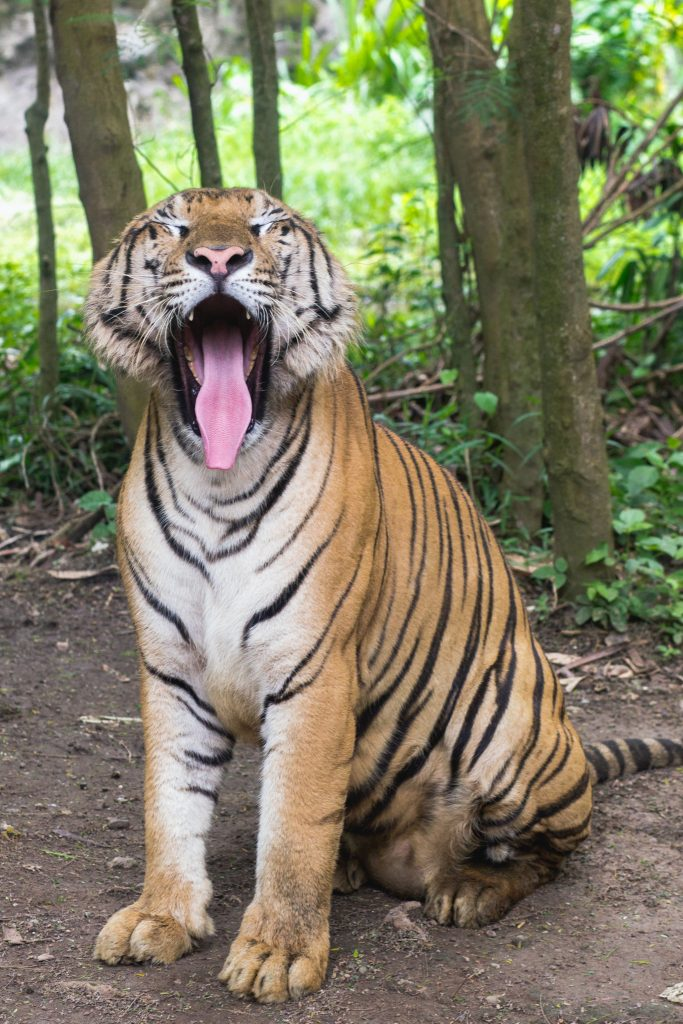 A tiger subtly showing off his chompers with a big yawn