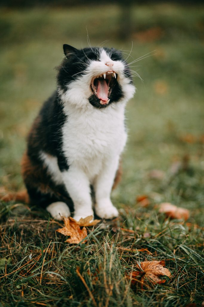 A big yawn from a seated cat