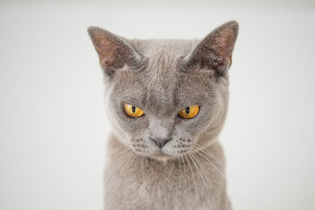 A gray cat with yellow eyes looks grouchy.