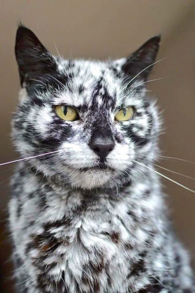 A cat with vitiligo who appears to have bicolor fur but does not technically fall into the category.