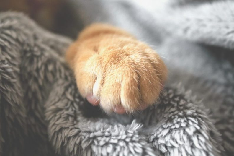 Up close on a cute orange cat paw with cat claws hiding somewhere in there. Gray blanket in the background