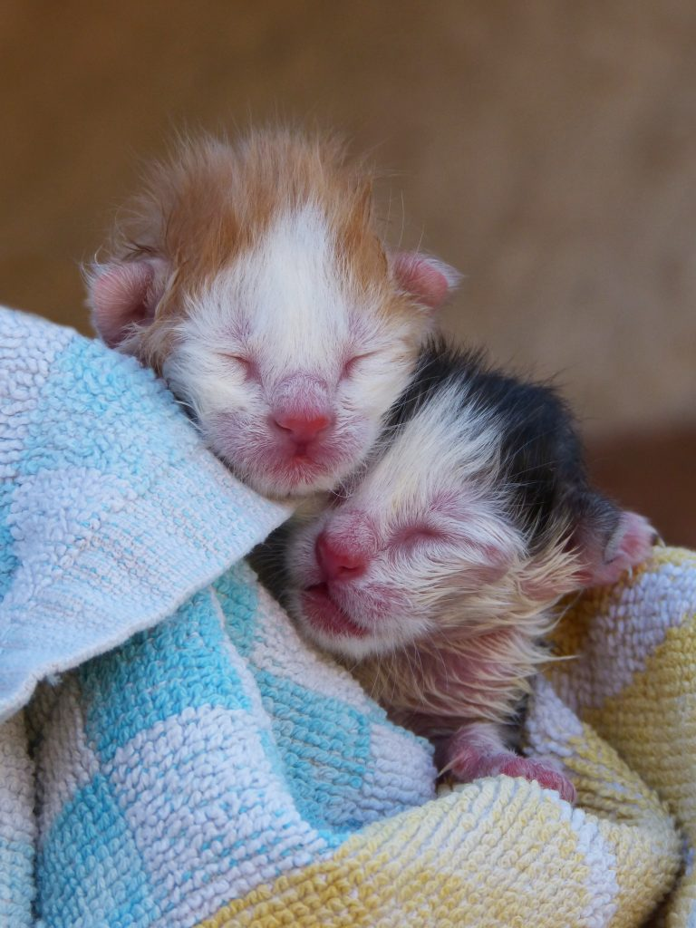 Two newborn kittens with eyes shut and ears mostly folded down