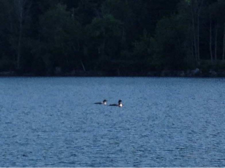 The loons on our cocktail cruise on Crystal Lake, Vermont.