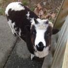 A lamb looking earnestly at the camera.