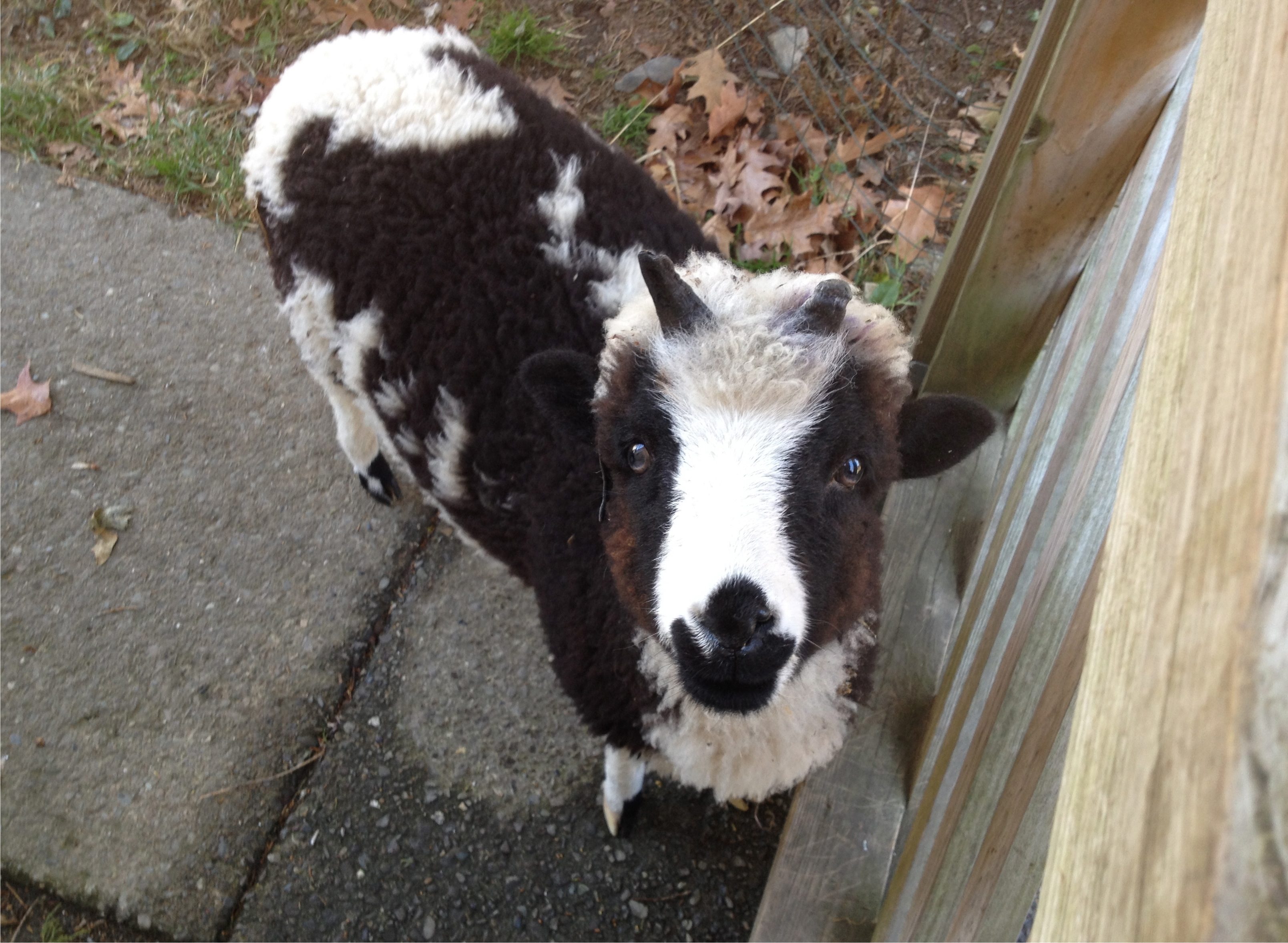 A lamb looking earnestly at the camera.