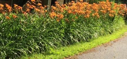 Banks of day lilies, everywhere