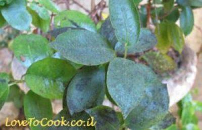 איך להדביר מזיקים בגינה - כינמת