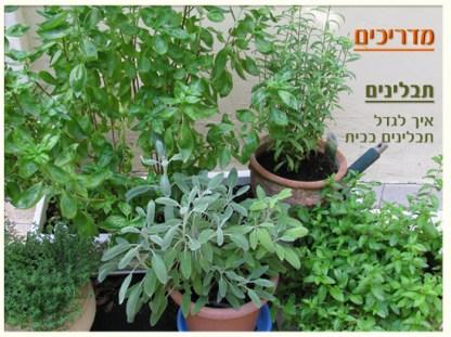 גידול צמחי תבלין