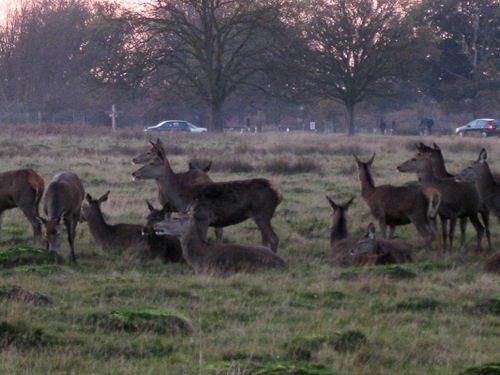 Herds of grazing deer at Richmond Park, London - © L. Silberstein