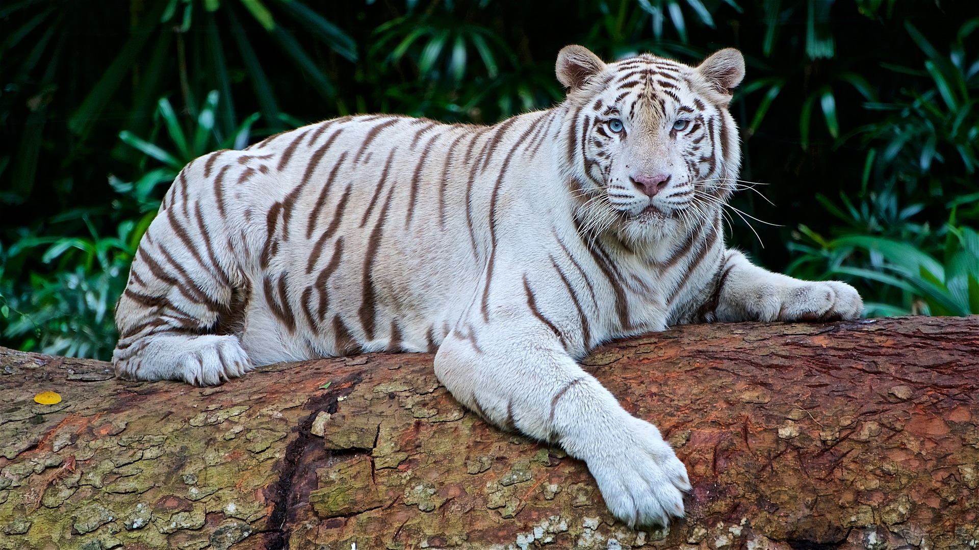 White Tiger - Siegfried & Roy's Secret Garden at The Mirage, Las Vegas