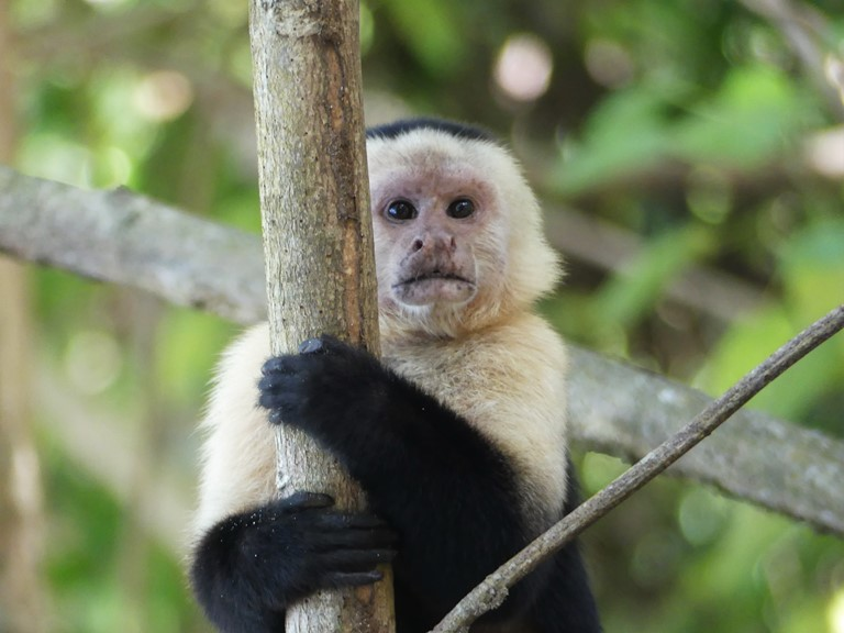 Капуцин / White-headed capuchin