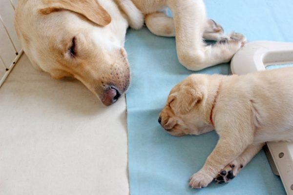 犬 血液型 犬種 種類