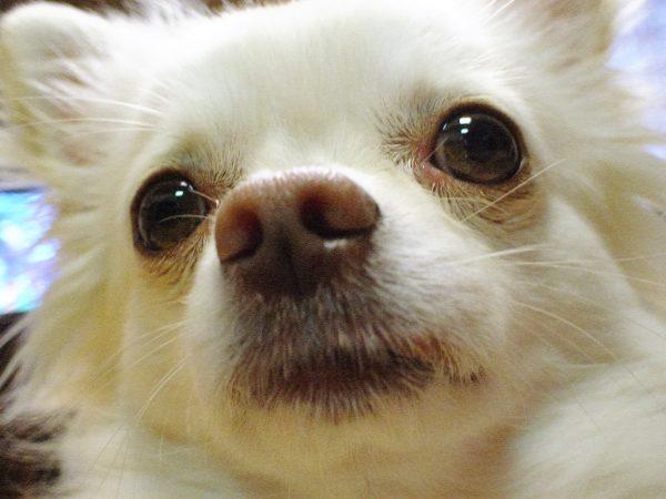 犬 クッシング症 症状