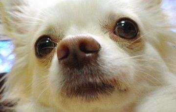 涙やけ 犬 ドッグフード