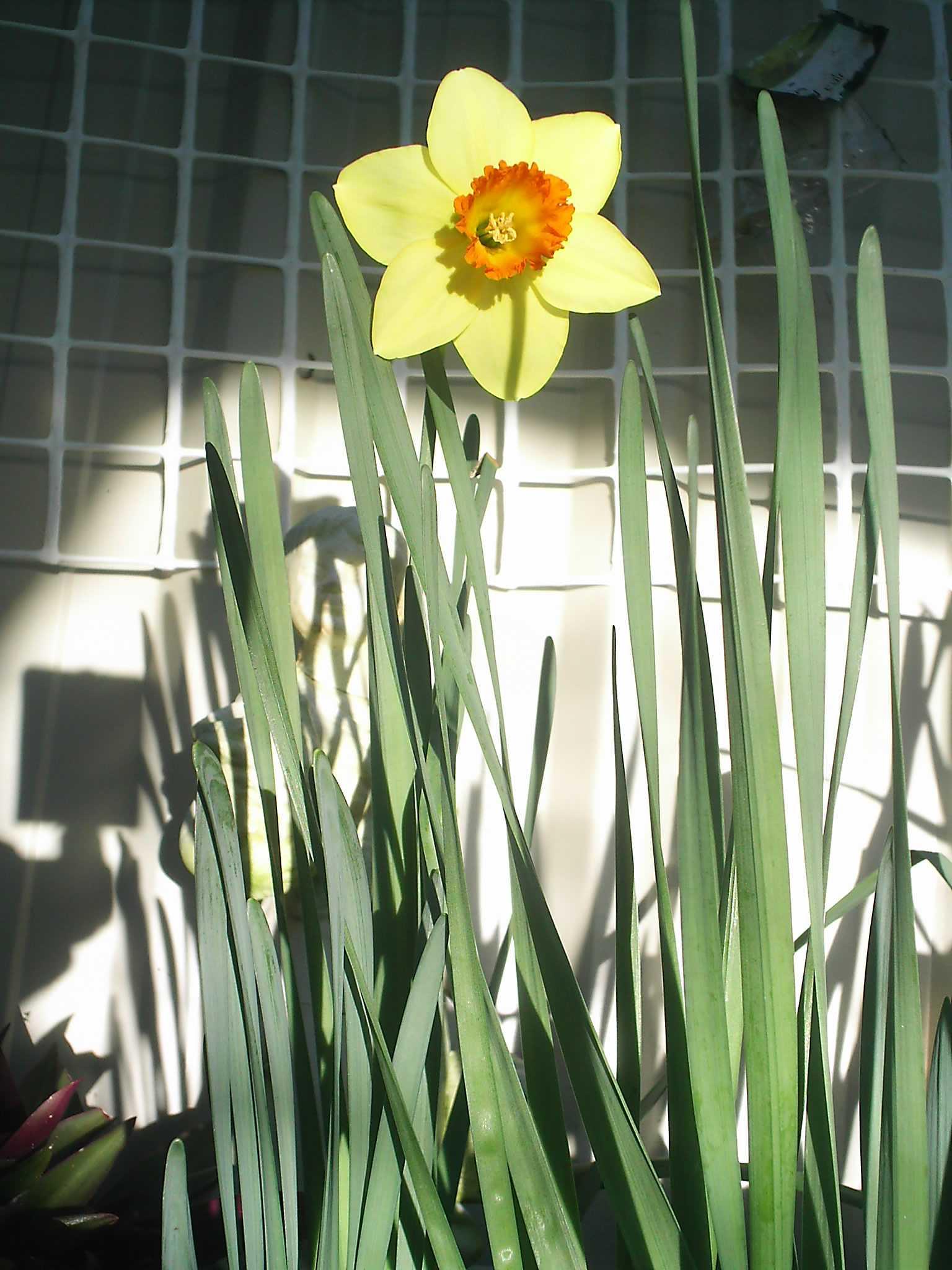 daffodil-aug-08