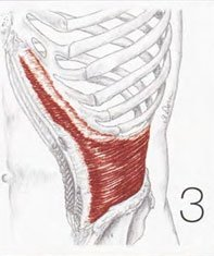THE TRANSVERSE ABDOMINALS are the deepest layer of abdominal muscles. They protect  the lower back by stabilizing the pelvis  and spine.