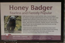 We call our schnauzer, Maggie, a Honey Badger. This description suits her.