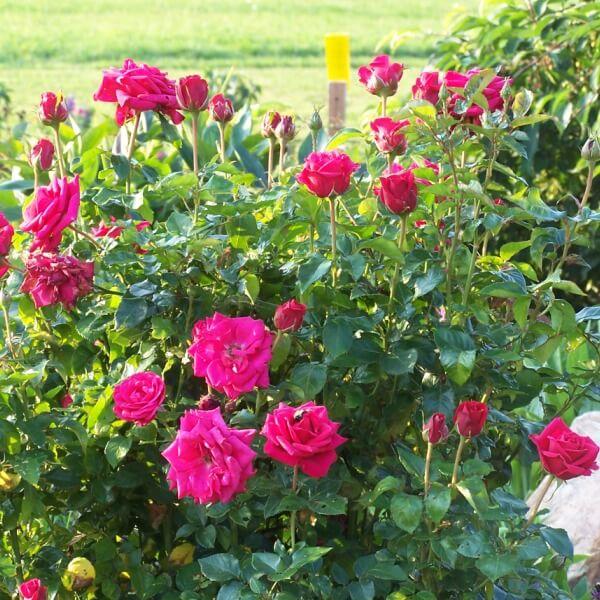 Бордюрные розы миниатюрные: фото, сорта, посадка и уход с ...