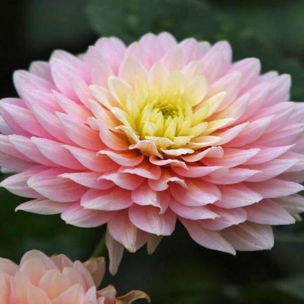 Сорта хризантем фото и названия новых многолетних садовых