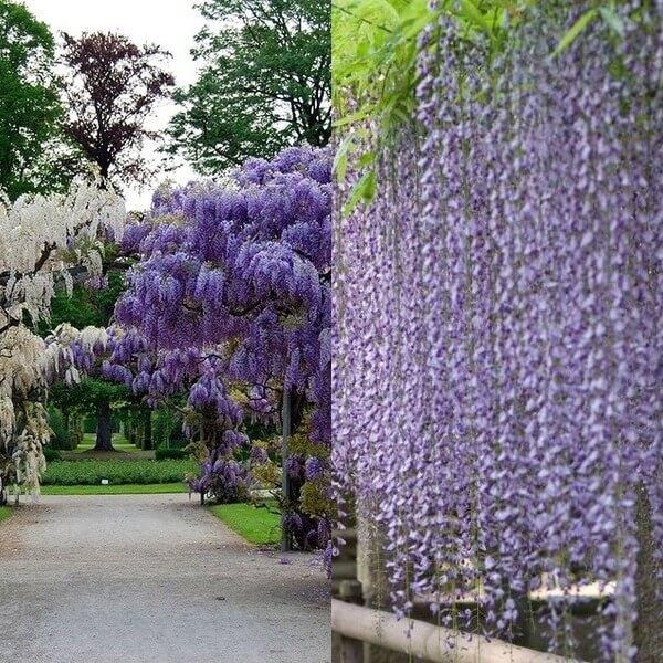 Дерево глициния или вистерия: фото, выращивание, посадка и ...