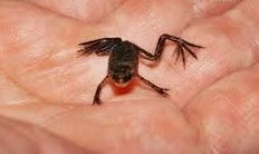 Лягушонок наживка для голавля