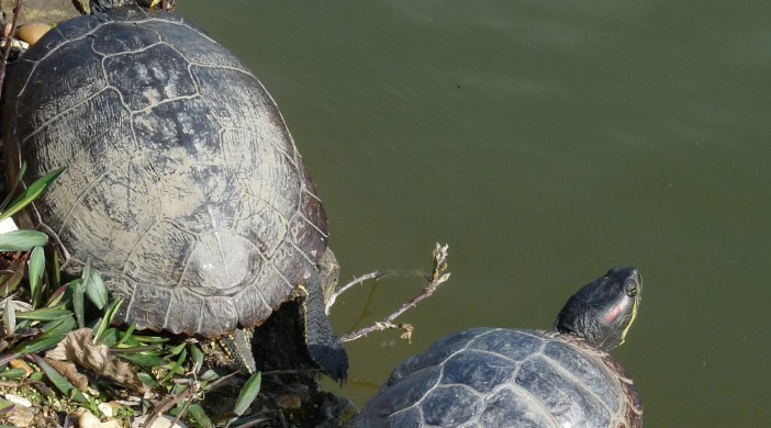 Dumped turtles (red-eared terrapins?) in one of the Clissold Park, Stoke Newington, Lon N16 ponds