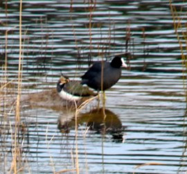 Lapwing and coot, River Lee/NavigationLea Valley Park 160115 © DavidAltheer@gmail.com