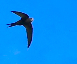 Swift over Dalston, London E8 © david,altheer@gmail,com