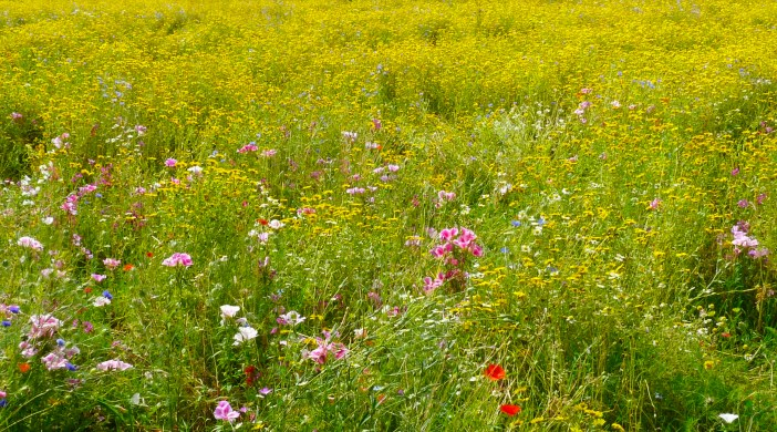 Wildflower meadow / field, Hackney Downs NE London E8 080716 © David Altheer
