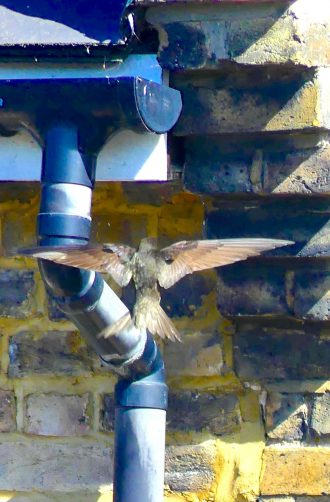 Swifts0617: @ nest in Dalston London E8 260617 © david,altheer@gmail,com