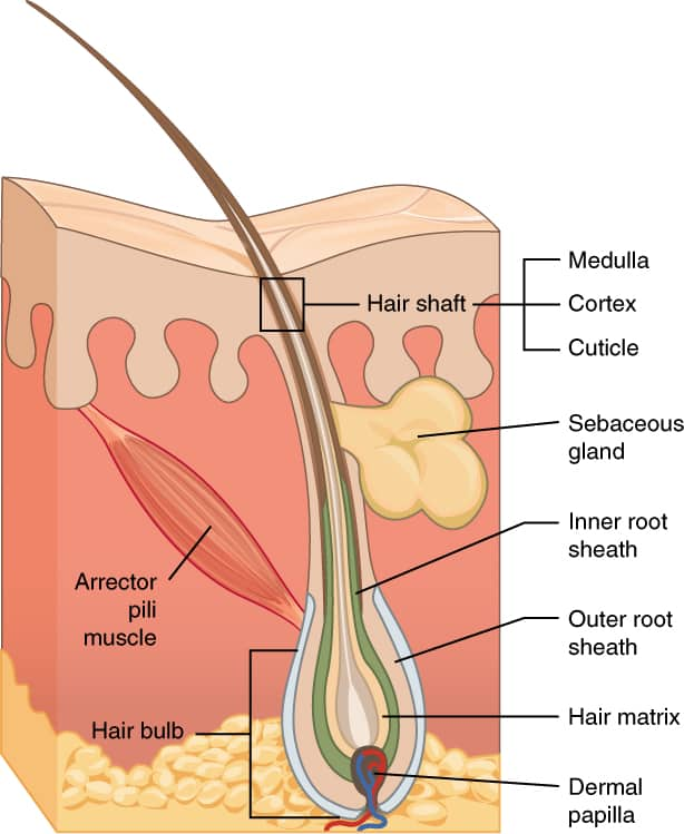 4C Hair Structure