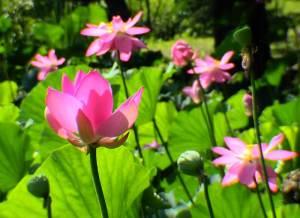 lotus-8