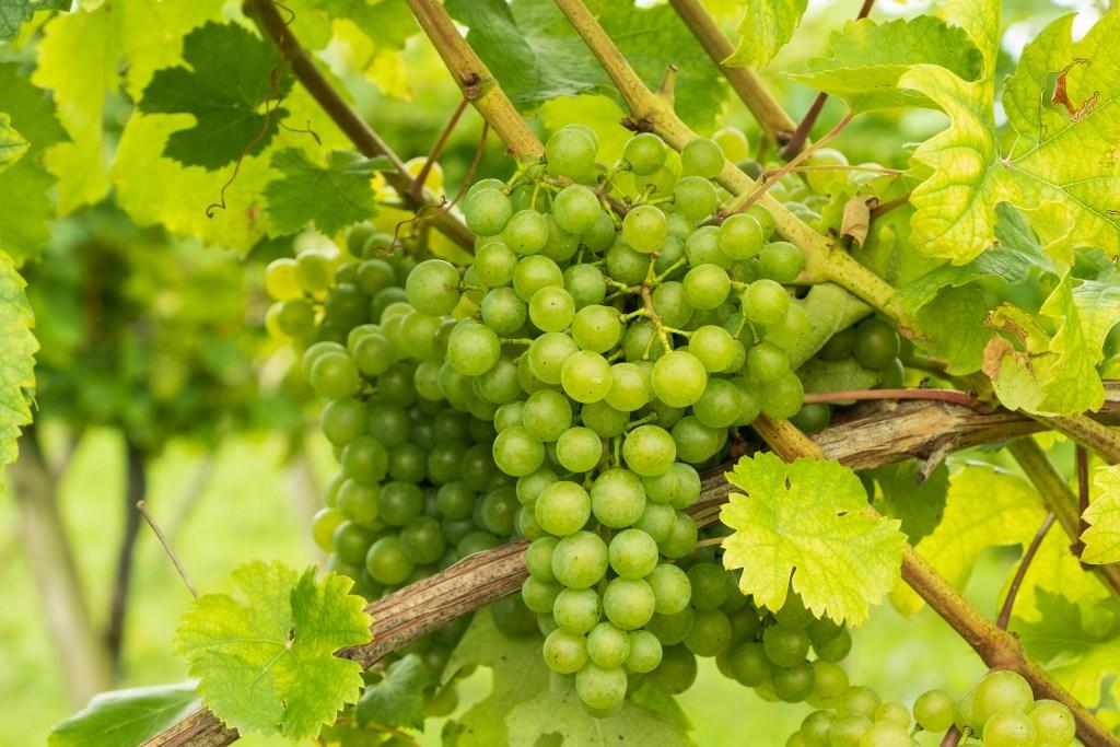 Galicia white wine grapes