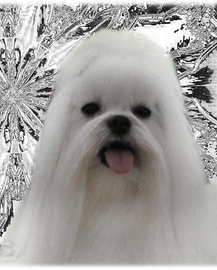 Hondenras de Maltezer