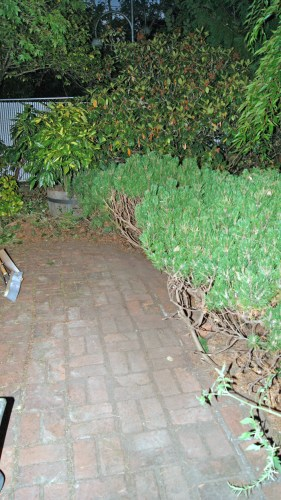 how the bushes looked last night after a whack job