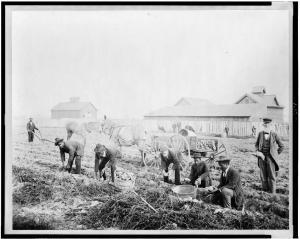 Claflin Harvesting sweet potatoes at Claflin University, Orangeburg, South Carolina LOC 3c09530v