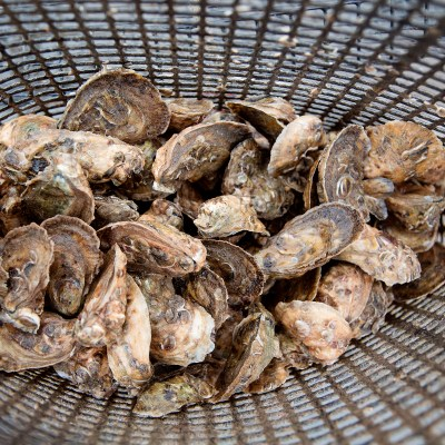Lowcountry Oyster Trail Set for Fall Launch