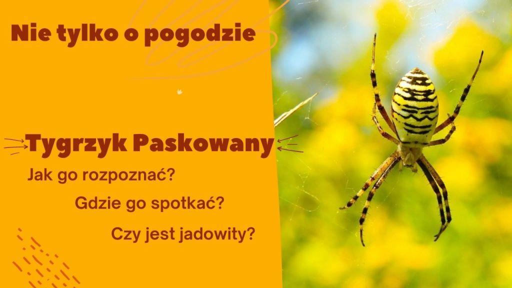 """Tygrzyk paskowany – """"tygrysi"""" pająk z południa"""