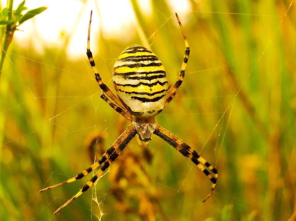 Tygrzyk paskowany. Kolorystyka pająka przypomina ubarwienie tygrysa