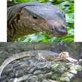"I'm a Monitor Lizard, #1 on the Search Result for ""Exotic Reptile."" So Suck It, Komodo Dragon."