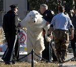 Polar Bear Perp Walk