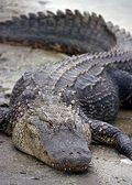 Florida_Alligator