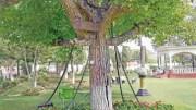 A subjugated tree in Landi Kotal, Pakistan.